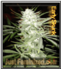 Early Skunk Just Feminized Mix & Match Seeds